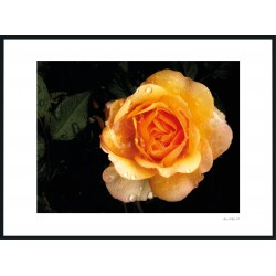 """Mom´s TeaRose"" Foto"